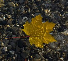 Amber Yellow Sunshine - Maple Leaf and Pebbles by Georgia Mizuleva