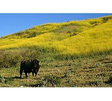 Bull Photographic Print