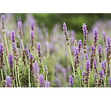 Lavender purple flowers growing. Photographic Print