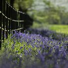 Bluebells at Painshill by Rachael Talibart