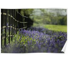 Bluebells at Painshill Poster