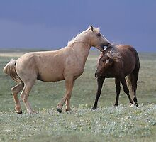 Echo and his father Bolder spar by equusferus