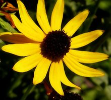 Black-eyed Susan  by Lena127