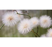 White fluffy balls. Photographic Print