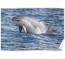 Bottlenose Dolphin Calf, Moray Firth Poster