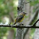Eastern Yellow Robin by Trish Meyer