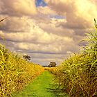 Cane Fields by wallarooimages