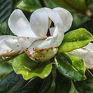 Mississippi Magnolia by Ginger  Barritt