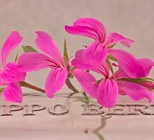 Pink Geranium Blossoms - Macro by Sandra Foster