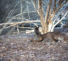 Lazy Old Kangaroo... by mitpjenkeating