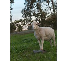 Clever Little Lamb.... Photographic Print