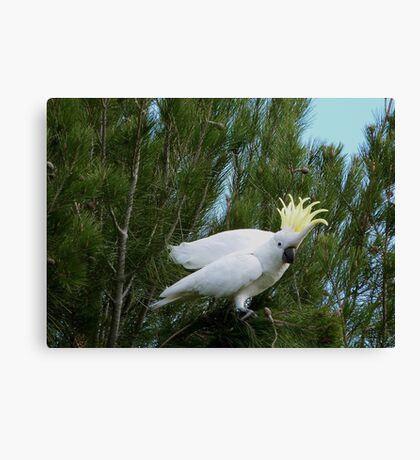 'YOU MADE ME DROP IT!'  Sulpher Crested Cockatoo, Adelaide Hills. Canvas Print