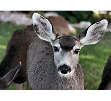 Mule Deer Doe Photographic Print