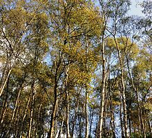 Silver birches at the start of autumn by Karen  Betts