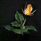 Rose by LydiaBlonde