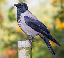 Hooded Crow by Dominika Aniola