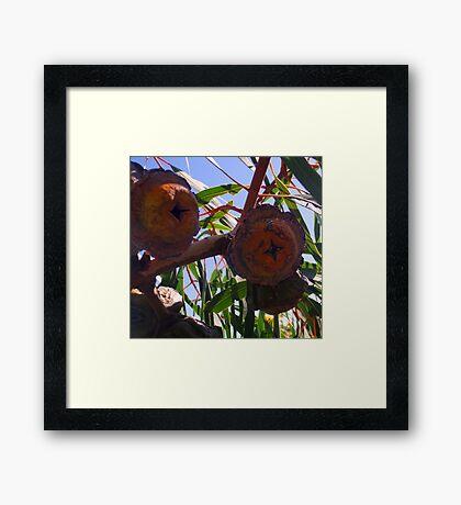 Gorgeous Gumnuts Framed Print