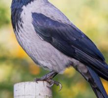 Hooded Crow Sticker