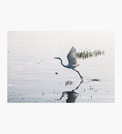 Great Egret bird starting to fly from lake Photographic Print