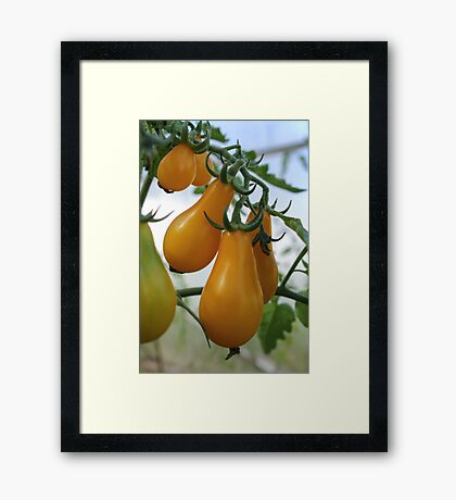 Branch yellow pear tomatoes/ Framed Print