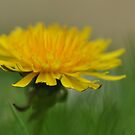Dandelion by Heather Thorsen