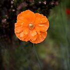 Orange Poppy by Susie Peek