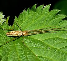 Long-jawed Spider by Kawka