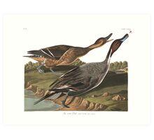 Northern Pintail - John James Audubon Art Print