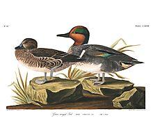 Green winged Teal - John James Audubon Photographic Print