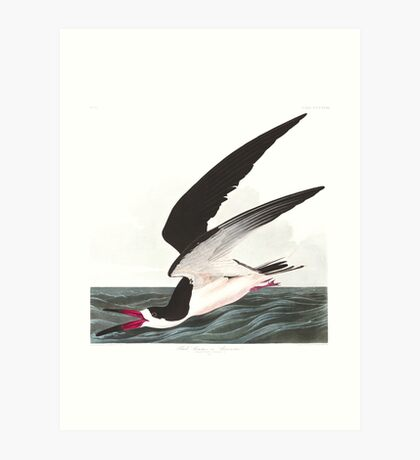 Black Skimmer - John James Audubon Art Print