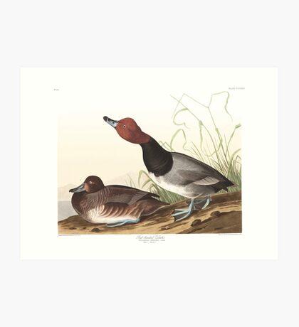 Readhead - John James Audubon Art Print