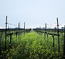 Lush Vineyards by randymir