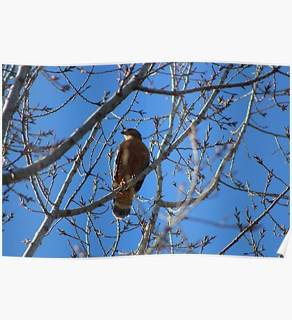 Praise The Lord,  finally, Red-Tailed Hawk Happy New Year's Everyone! 12-30-2016 Poster