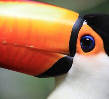 Toucan by goncalodiniz
