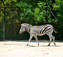 Stepping Out, Melbourne Zoo by Maggie Hegarty
