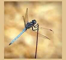 Scarce Chaser Dragonfly by Jacqui Davey by jdavey57