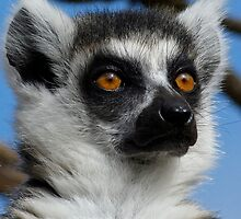 Watching His Group - Ring-tailed Lemur by Margaret Saheed