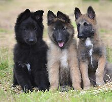 Belgian Shepherd Dog Club of Qld Calendar by Belgian Shepherd Dog Club of QLD Inc