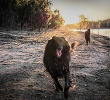 2015 Groenendaels at lakeside by Belgian Shepherd Dog Club of QLD Inc