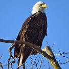 American Bald Eagle by lorilee