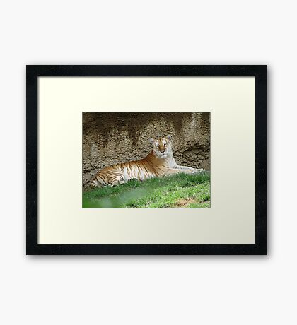 Golden Tiger  Framed Print