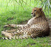 Lazy Cheetah by cybercat