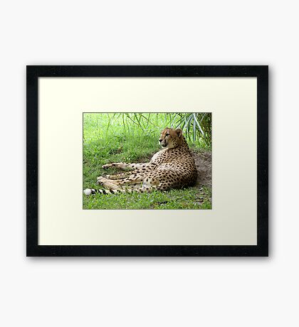 Lazy Cheetah Framed Print