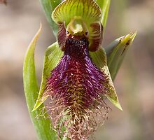 Purple Beard Orchid - Calochilus robertsonii by Paul Piko