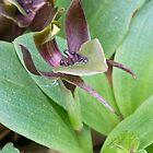 Common Bird Orchid - Chiloglottis valida by Paul Piko