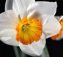 Daffodil Dressed in White by Joy Watson
