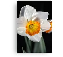 Daffodil Dressed in White Canvas Print