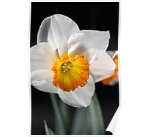 Daffodil Dressed in White Poster