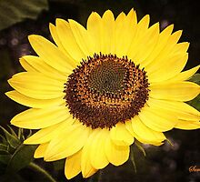 Sunflower ~ Your Dose of Sunshine by SummerJade