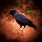 Crow by shutterbug2010